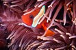 Clown Fish, Underwater Photography, Lady Elliot Island Photos